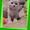 Котята вислоухие шотландские. Фото - реальные. #1116982