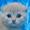 Котята вислоухие КРЕМОВЫЕ. Удовольствие - гарантируем! #1116978