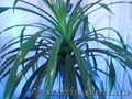 продам пальму панданус