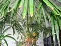 Продам пальму для дома или офиса