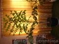 Пальма кариота продам