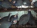 Продам  фазанов,  цесарок,  пуховых кур