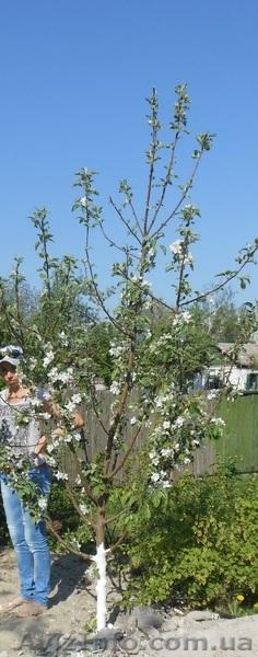 Плодовые деревья 2,5-3,5м с комом, Объявление #857084