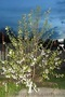 Плодовые деревья 2,5-3,5м с комом - Изображение #3, Объявление #857084