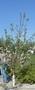 Плодовые деревья 2,5-3,5м с комом - Изображение #1, Объявление #857084