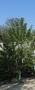 Плодовые деревья 2,5-3,5м с комом - Изображение #2, Объявление #857084