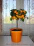 Мандарин, апельсин плодоносящий, комнатный саженцы Кировоград. - Изображение #4, Объявление #980050