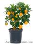 Мандарин, апельсин плодоносящий, комнатный саженцы Кировоград. - Изображение #5, Объявление #980050