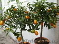 Мандарин, апельсин плодоносящий, комнатный саженцы Кировоград. - Изображение #3, Объявление #980050