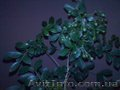 Мурайя цветущая (Муррайя, Murraya exotica, M. paniculata) - Изображение #3, Объявление #1127123