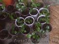 Мурайя цветущая (Муррайя, Murraya exotica, M. paniculata) - Изображение #2, Объявление #1127123