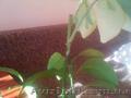 Вариегатный каламондин (Citrofortunella microcarpa) - Изображение #2, Объявление #1127124