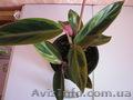 Сортовые сингониумы,драгоценную орхидею, тилландсии,строманты - Изображение #10, Объявление #1151106