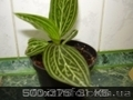 Сортовые сингониумы,драгоценную орхидею, тилландсии,строманты - Изображение #9, Объявление #1151106
