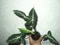 Сортовые сингониумы,драгоценную орхидею, тилландсии,строманты - Изображение #3, Объявление #1151106