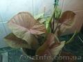 Сортовые сингониумы,драгоценную орхидею, тилландсии,строманты - Изображение #2, Объявление #1151106