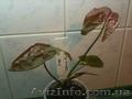 Сортовые сингониумы, драгоценную орхидею,  тилландсии, строманты