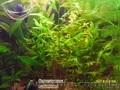 Аквариумные растения, - Изображение #3, Объявление #786675