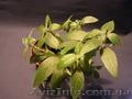 Продам Ruellia caroliniensis - Изображение #3, Объявление #877992