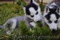 Сибирский хаски щенки КСУ FCI