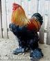 Продам петухов;  брама светлая и куропатчатая,  кокинхин  голубой,  орпингтон палев