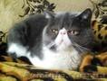 экзотический короткошерстный кот приглашает на вязку