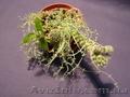 Продам Mammillaria gracilis - Изображение #2, Объявление #877510