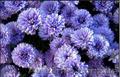 Хризантемы астра новобельгийская (морозец) махровая.