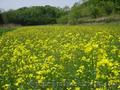Реализуем Семена рапса,  самого высокого качества по оптовой цене.