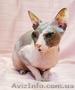 Питомник предлагает  котят донского сфинкса WCF. - Изображение #4, Объявление #1570608