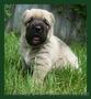 Крупный породный щенок САО (алабай). - Изображение #2, Объявление #1570609