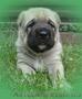 Крупный породный щенок САО (алабай).