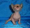 Питомник предлагает  котят донского сфинкса WCF., Объявление #1570608