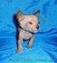 Питомник предлагает  котят донского сфинкса WCF. - Изображение #2, Объявление #1570608