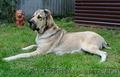 Крупный породный щенок САО (алабай). - Изображение #5, Объявление #1570609