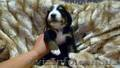 Перспективные щенки Бернского зенненхунда - Изображение #2, Объявление #1580975
