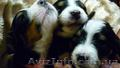 Перспективные щенки Бернского зенненхунда, Объявление #1580975