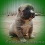 Питомник предлагает щенков САО - любителям алабаев.