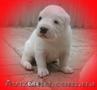 Питомник предлагает щенков САО - любителям алабаев. - Изображение #5, Объявление #1581082