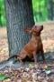 Цвергпинчер щенок., Объявление #1589794
