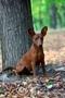 Цвергпинчер щенок. - Изображение #2, Объявление #1589794