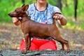 Цвергпинчер щенок. - Изображение #3, Объявление #1589794