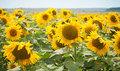 Толедо – насіння соняшнику толерантного до 50 г /га гранстару