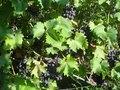 Продам саженцы столового винограда