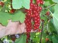 саженцы красной смородины